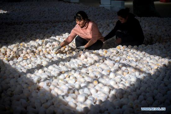 Villagers sort pepino melons at a farmers' specialized cooperative in Luhua Village of Xijiekou Township in Shilin Yi Autonomous County, southwest China's Yunnan Province, Nov. 30, 2019.