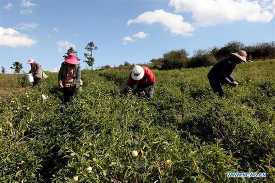 Villagers pick pepino melons in Luhua Village of Xijiekou Township in Shilin Yi Autonomous County, southwest China's Yunnan Province, Nov. 30, 2019.