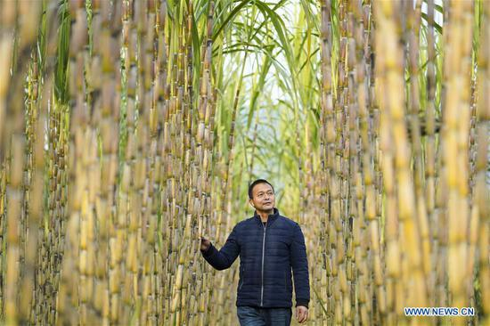 Zhao Zelun checks the growth of sugar canes at his farm in Zhongba Island in Chongqing, southwest China, Jan. 7, 2020. From Jan. 1, 2020, China began a 10-year fishing ban in key areas of the Yangtze River to protect biodiversity. Zhao, finishing his 30 years' career as fisherman, started a farm hostel business in Zhongba Island. (Xinhua/Liu Chan)
