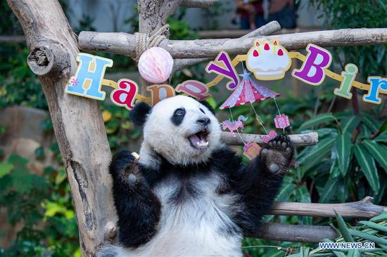 Giant panda Yi Yi enjoys the birthday meal at Malaysia's National Zoo near Kuala Lumpur, Malaysia, Jan. 14, 2020. Fans and tourists from Malaysia and abroad on Tuesday celebrated the second birthday of Yi Yi, the second giant panda that was born in Malaysia. Born in January 2018, Yi Yi, whose name means friendship in Chinese, is the second offspring of her parents, Xing Xing and Liang Liang, who arrived in Malaysia in 2014. (Xinhua/Zhu Wei)