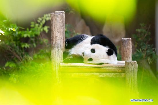 Giant panda Yi Yi sleeps at Malaysia's National Zoo near Kuala Lumpur, Malaysia, Jan. 14, 2020. Fans and tourists from Malaysia and abroad on Tuesday celebrated the second birthday of Yi Yi, the second giant panda that was born in Malaysia. Born in January 2018, Yi Yi, whose name means friendship in Chinese, is the second offspring of her parents, Xing Xing and Liang Liang, who arrived in Malaysia in 2014. (Xinhua/Zhu Wei)