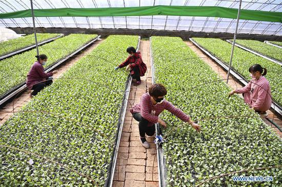 People work in a greenhouse in Zhangdian Township of Qiaocheng District of Bozhou, east China's Anhui Province, Feb. 11, 2020. Farmers across China have resumed production after taking necessary protection measures against novel coronavirus. By Feb. 10, about 94.6 percent of the country's major grain production and processing firms had resumed production. (Photo by Liu Qinli/Xinhua)