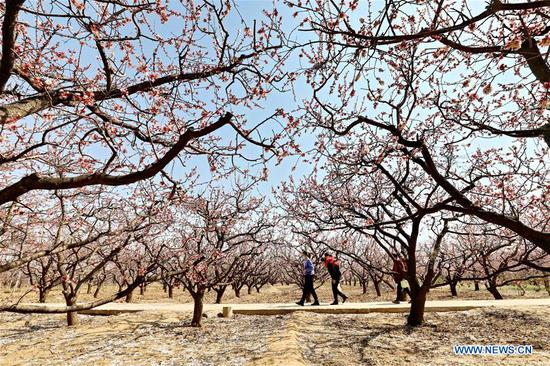 Tourists visit an apricot tree garden in Donghanzhuang Village, Julu County, north China's Hebei Province, March 24, 2020. The apricot trees are in blooming here. (Xinhua/Mu Yu)