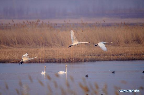 In pics: migrant birds at Momoge National Nature Reserve in N China