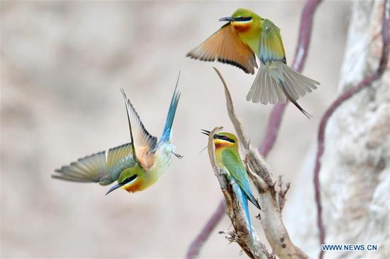 Blue-tailed bee eaters are seen at Wuyuanwan blue-tailed bee eater nature reserve in Xiamen, southeast China's Fujian Province, May 19, 2020. (Xinhua/Wei Peiquan)