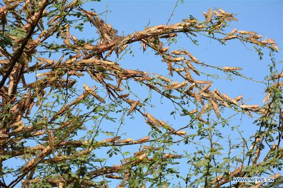 Locusts are seen on a tree on the outskirts of Sukkur, southern Pakistan, on July 1, 2020. According to the country's Ministry of National Food Security and Research, the country's annual wheat requirement is 27.47 million tons, but the crop production this year was less than 25 million tons due to multiple factors including locust attacks, untimely heavy rains and infestation of fungal disease yellow rust. (Str/Xinhua)