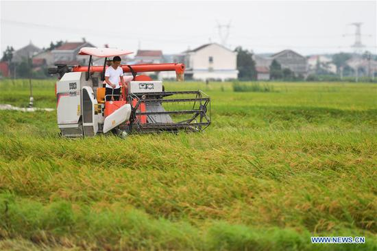 A farmer harvests flattened rice with a reaper at Gangkou Township in Yueyang County, central China's Hunan Province, July 11, 2020. The early rice in parts of Yueyang County was beaten down by strong wind and heavy rainfall. The local government organized farmers to rush to harvest early rice to minimize the loss due to the continuous severe convective weather recently. (Xinhua/Chen Zeguo)