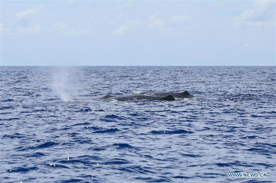 Photo taken on July 24, 2020 shows sperm whales in the South China Sea. Chinese researchers have spotted 11 whale species in the South China Sea during a deep-sea scientific expedition, the Chinese Academy of Sciences said Tuesday. (Xinhua/Zhang Liyun)