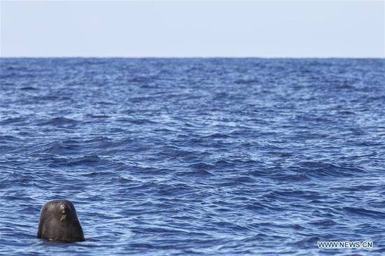 A short-finned pilot whale is seen in the South China Sea, July 20, 2020. Chinese researchers have spotted 11 whale species in the South China Sea during a deep-sea scientific expedition, the Chinese Academy of Sciences said Tuesday. (Xinhua/Zhang Liyun)