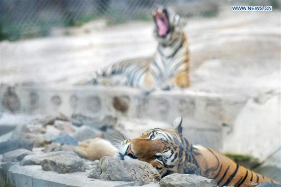 Siberian tigers rest at Hengdaohezi Siberian Tiger Park in Hailin, northeast China's Heilongjiang Province, July 27, 2020. Siberian tigers in the park have lessened their activities and took various ways to cool off in the midsummer. (Xinhua/Wang Jianwei)