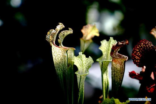 Photo taken on Oct. 11, 2020 shows the pitcher plant in Shanghai Botanical Garden in east China's Shanghai. More than 250 varieties of insectivorous plants are on display during the 2nd Insectivorous Plant Exhibition. (Xinhua/Zhang Jiansong)