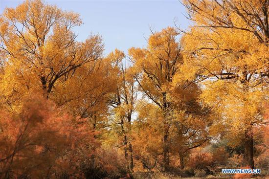 Photo taken on Oct. 14, 2020 shows the populus euphratica forest at the Shiyang River national wetland park in Wuwei, northwest China's Gansu Province. (Xinhua/Guo Gang)