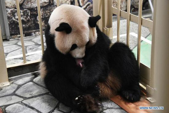 Female giant panda Rauhin holds her male cub in arms at the Adventure World theme park in Shirahama, Wakayama Prefecture, Japan, Nov. 22, 2020. A male giant panda cub has been born at a zoo in Western Japan's Wakayama Prefecture, local media reported Monday. The cub measured 20.5 centimeters long, and weighed 157 grams. It was the 17th cub delivered at the zoo. (Adventure World/Handout via Xinhua)