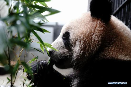 A giant panda feeds on bamboo after a health check at Shanghai Zoo in east China's Shanghai, March 1, 2021. Routine health checks are performed to ensure the physical health of the two giant pandas living at Shanghai Zoo. (Xinhua/Zhang Jiansong)