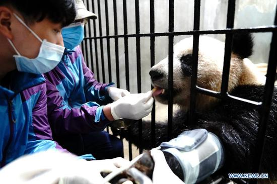 Staff members measure a giant panda's blood pressure at Shanghai Zoo in east China's Shanghai, March 1, 2021. Routine health checks are performed to ensure the physical health of the two giant pandas living at Shanghai Zoo. (Xinhua/Zhang Jiansong)