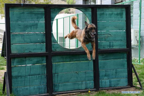 A rescue dog takes part in a hole-passing training at the National Urban Search and Rescue (USAR) Training Center of Lanzhou in Yuzhong County of Lanzhou, capital of northwest China's Gansu Province, May 10, 2021. The National USAR Training Center of Lanzhou has a rescue team made up of armed police, medical staff and members of the China Earthquake Administration. The center, which has multi-functional professional training fields, facilities and equipment, can train professional rescue teams to deal with complicated circumstances. Meanwhile, as a state-level popular science education base for earthquake prevention and disaster reduction, it has opened various forms of popular science education classes. (Xinhua/Fan Peishen)