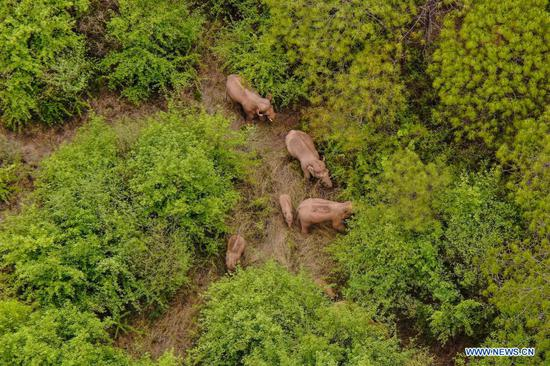 Aerial photo taken on June 8, 2021 shows the wild Asian elephant herd in Jinning District of Kunming, southwest China's Yunnan Province. The wandering wild Asian elephant herd that has caught global attention has headed 3.7 km further southwest after taking a good rest in the outskirts of the southwestern Chinese city of Kunming. (Xinhua)