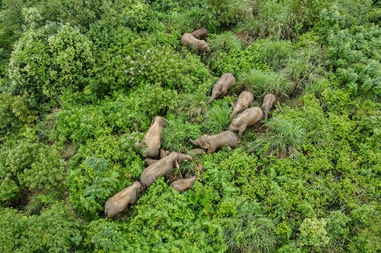 Aerial photo taken on Aug. 13, 2021 shows a herd of wild Asian elephants in Mojiang County of Pu'er, southwest China's Yunnan Province. (Xinhua/He Yougang)