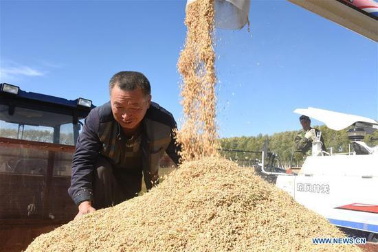 Yang Baojun, a worker of Suibin farm, checks harvested rice crop in Hegang, northeast China's Heilongjiang Province, Sept. 16, 2018. The rice harvest season has begun in the Heilongjiang Reclamation Area. (Xinhua/Liu Hongjun)