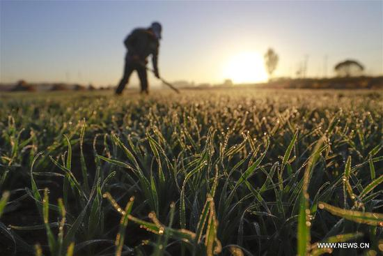 A villager works in the farmland of Tuanpiaozhuang Town of Tangshan, north China's Hebei Province, Oct. 23, 2018, the day of the First Frost. First Frost, also known as Shuangjiang, is one of the 24 solar terms of the Chinese lunar calendar. (Xinhua/Liu Mancang)