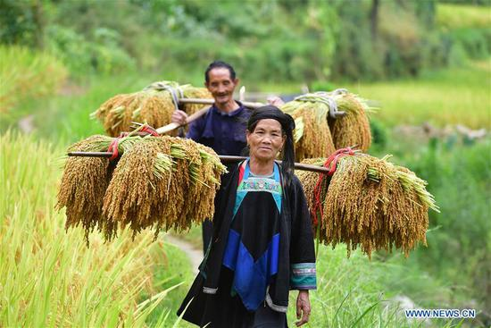 Villagers carry bales of paddy rice at Wuying, a village of Miao ethnic group under joint administration by Rongshui County in Guangxi Zhuang Autonomous Region and its neighbouring Congjiang County of Guizhou Province, Sept. 3, 2019. Farmers of Miao ethnic group here are busy harvesting paddy rice as the weather is fair recently. (Xinhua/Huang Xiaobang)