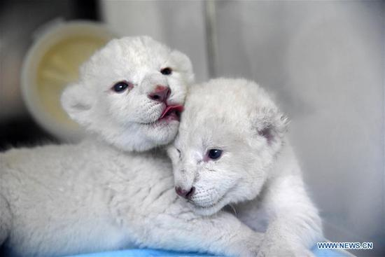 A pair of newborn white lion twin cubs are pictured at Wild World Jinan, a wildlife park in Jinan, capital of east China's Shandong Province, Oct. 9, 2019. A white lion mother gave birth to a pair of twin cubs on Oct. 2 at Wild World Jinan. The two newborn cubs, a male and a female, are in good health condition and will meet public visitors following an observation period. The white lion is a rare wildlife species mostly found in southern Africa. (Xinhua/Wang Kai)