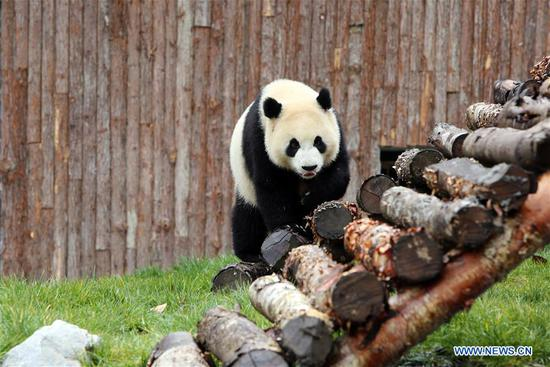 Giant panda Xin Xin is seen enjoying itself at the newly-opened Jiawuhai Giant Panda Conservation and Research Park in Jiuzhaigou County, the Aba Tibetan and Qiang Autonomous Prefecture, southwest China's Sichuan Province, Nov. 6, 2019. The Jiawuhai Giant Panda Conservation and Research Park officially opened here on Wednesday. The facility will serve as the new home for four giant pandas, namely Xin Xin, Tian Tian, Hai Hai and Xiao Liwu (meaning