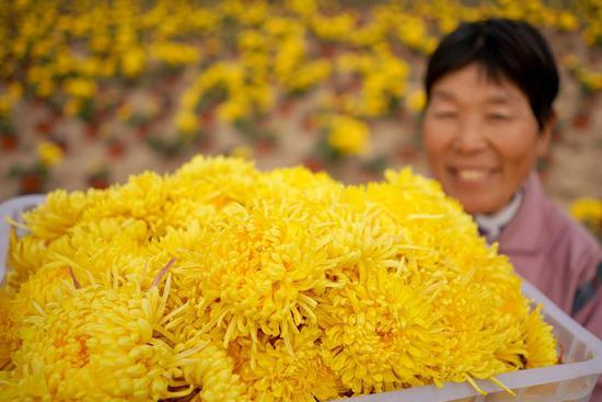 Chrysanthemum planting industry boosts locals' income in 四不像心水's Hebei