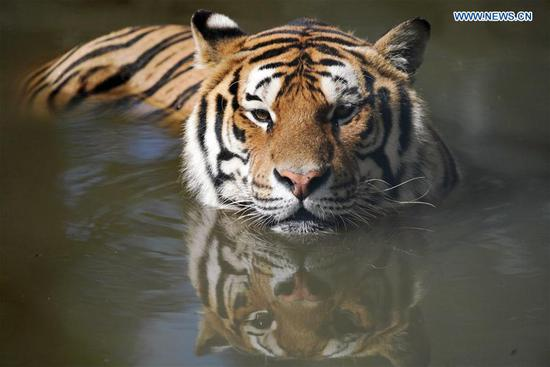 A Siberian tiger cools itself in water at Hengdaohezi Siberian Tiger Park in Hailin, northeast China's Heilongjiang Province, July 28, 2020. Siberian tigers in the park have lessened their activities and took various ways to cool off in the midsummer. (Xinhua/Wang Jianwei)