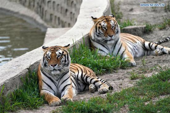Siberian tigers rest at Hengdaohezi Siberian Tiger Park in Hailin, northeast China's Heilongjiang Province, July 28, 2020. Siberian tigers in the park have lessened their activities and took various ways to cool off in the midsummer. (Xinhua/Wang Jianwei)