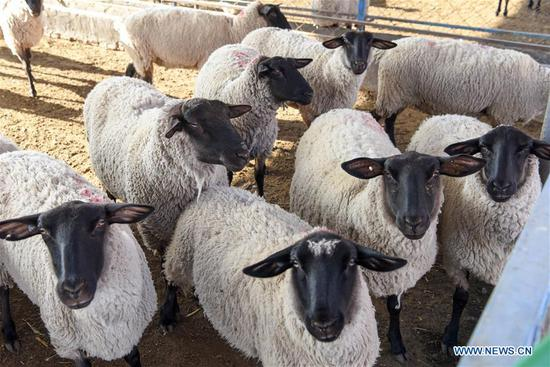 Photo taken on Oct. 19, 2020 shows a herd of Suffolk sheep at an animal husbandry company in Manas County, northwest China's Xinjiang Uygur Autonomous Region. Manas introduced Suffolk sheep in 1989. The county has accumulated experience on sheep breeding and improved the quality of its mutton products. In recent years, local people have promoted their high-quality mutton products in the market in Beijing and Shanghai via e-commerce platform to boost villagers' income. (Xinhua/Ding Lei)