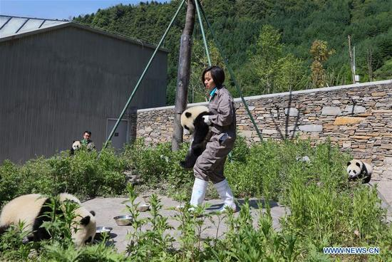 Breeders take care of giant panda cubs in the Shenshuping giant panda protection base of Wolong National Nature Reserve in Gengda Township, southwest China's Sichuan Province, May 16, 2018. The Wolong reserve, some 30 kilometers away from the epicenter of the devastating 2008 earthquake, was severely damaged in the disaster. As a result, some pandas inhabiting the reserve had to be relocated in zoos after the quake. As years passed, Wolong still remains as a suitable habitat for giant panda. Sponsored by the government of the Hong Kong Special Administrative Region, the Shenshuping base covering an area of about 150 hectares opened on May 11, 2016. It is now home to more than 50 giant pandas. (Xinhua/Lan Hongguang)