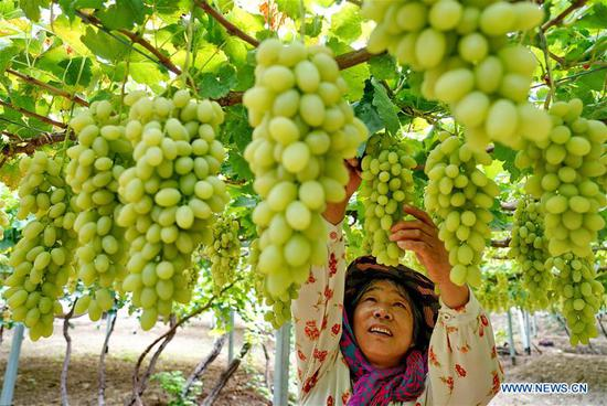 A farmer picks grapes in Haoyao Village of Sangyuan Township in Huailai County, north China's Hebei Province, Sept. 9, 2019. Local authorities encourage farmers to plant improved grapes to increase output. At present, the grape plantation area has reached 150,000 mu (about 10,000 hectares) and annual output value has reached 1.5 billion yuan (about 210 million U.S dollars). (Xinhua/Yang Shiyao)