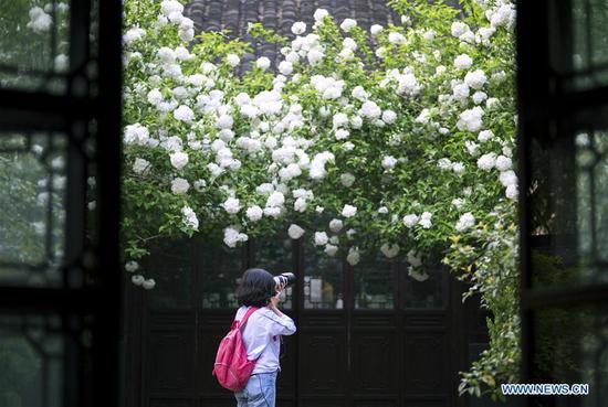 A photography enthusiast takes photos of hydrangeas at Qingliangshan Park in Nanjing, capital of east China's Jiangsu Province, April 11, 2018. (Xinhua/Su Yang)