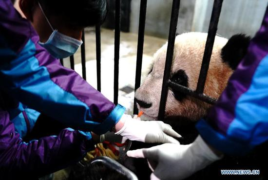 Staff members make preparations for a blood test for a giant panda at Shanghai Zoo in east China's Shanghai, March 1, 2021. Routine health checks are performed to ensure the physical health of the two giant pandas living at Shanghai Zoo. (Xinhua/Zhang Jiansong)