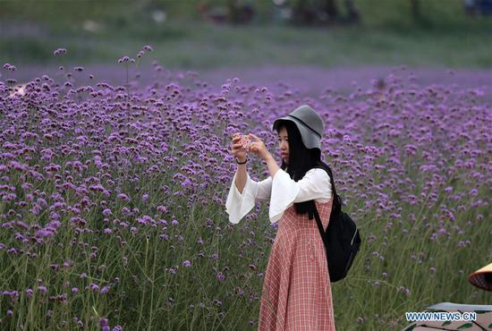A tourist visits a verbena field at Binjiang Park in Nanning, south China's Guangxi Zhuang Autonomous Region, April 21, 2019. (Xinhua/Zhou Hua)