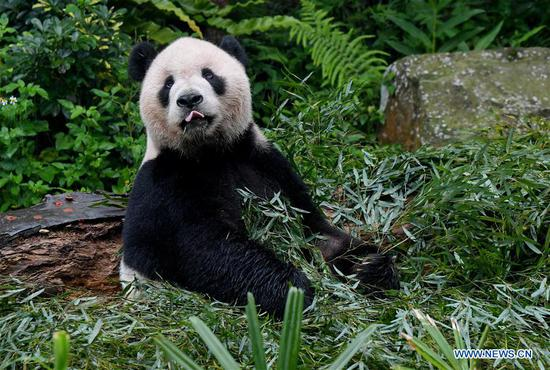 The giant panda Tuantuan eats bamboo leaves at the Taipei Zoo in Taipei, southeast China's Taiwan, May 6, 2019. At the Taipei Zoo, the two giant pandas Tuantuan (male) and Yuanyuan (female) have drawn large crowds eager to catch a glimpse of the chubby bears through the past ten years. The two giant pandas were sent to Taiwan from the Chinese mainland in late 2008. In 2013, Tuantuan and Yuanyuan had a baby called Yuanzai. (Xinhua/Zhang Guojun)