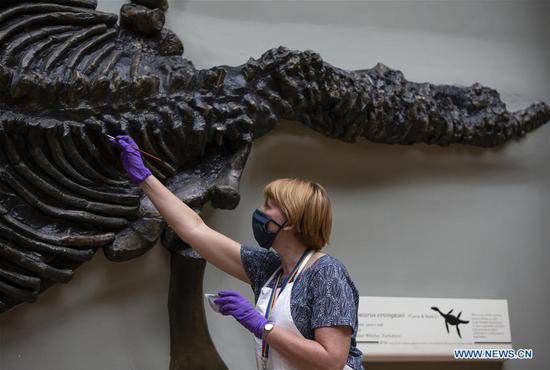 A staff member fixes the color of a fossil exhibit at Hintze Hall of Natural History Museum before its reopening in London, Britain, on July 27, 2020. The Natural History Museum will reopen from August 5. (Xinhua/Han Yan)