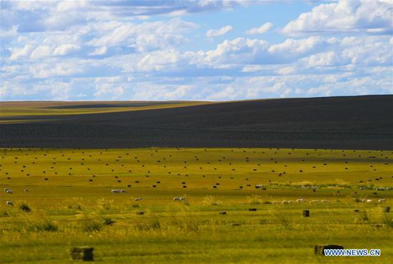 Bundles of grass which have been mowed are seen on a grassland in Xilin Gol League, north China's Inner Mongolia Autonomous Region, Sept. 7, 2020. The pastoral area in Xilin Gol has entered into its grass mowing season. (Xinhua/Peng Yuan)