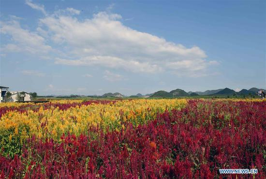Photo taken on Sept. 5, 2018 shows the colorful flower field in Luoping County, southwest China's Yunnan Province. Colorful flower fields of 200 hectares are created by the local government in Luoping County to boost tourism development. (Xinhua/Yang Zongyou)