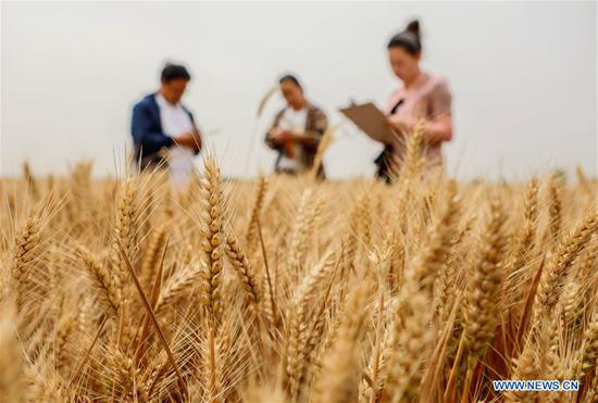 Agricultural technicians conduct yield monitoring at a wheat field in Xidiqiu Village of Linzhang County, Handan, north China's Hebei Province, June 2, 2020. Agricultural technicians conducted a yield monitoring in Linzhang on Tuesday, a step for the large-scale harvesting of wheat. The mechanical reaping works of wheat in Hebei will last from June 5 to 21. (Xinhua/Wang Xiao)