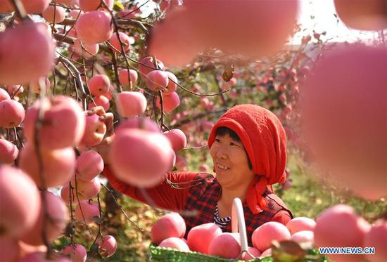A farmer picks apples in an orchard at Houshuibei Village in Yiyuan County, east China's Shandong Province, on Oct. 12, 2018. (Xinhua/Zhao Dongshan)