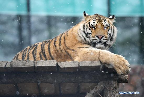 A Siberian tiger takes a rest at a tiger park as snow falls in Hailin, northeast China's Heilongjiang Province, April 18, 2019. (Xinhua/Wang Jianwei)