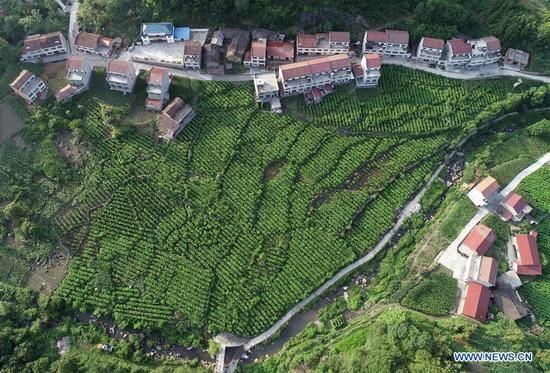 Aerial photo taken on June 25, 2019 shows a view of the mulberry field in Mamiao Village, Zhongyuan Town of Ankang City, northwest China's Shaanxi Province. In recent years, Ankang has been focusing on green development and seen rapid growth of eco-friendly industries. The city has also established some labor-intensive industries fabricating items as textile and toys, as a way to create jobs for low-income residents. (Xinhua/Shao Rui)