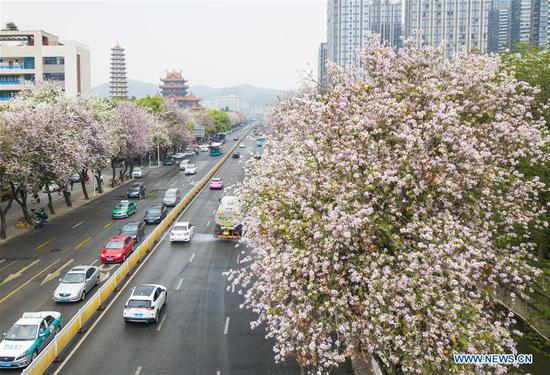 Aerial photo taken on April 4, 2018 shows bauhinia blossoms along a street in Fuzhou, capital of southeast China's Fujian Province. (Xinhua/Song Weiwei)