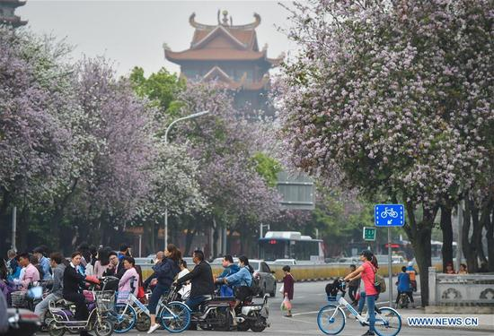 People walk under the bauhinia blossoms along a street in Fuzhou, capital of southeast China's Fujian Province. (Xinhua/Song Weiwei)