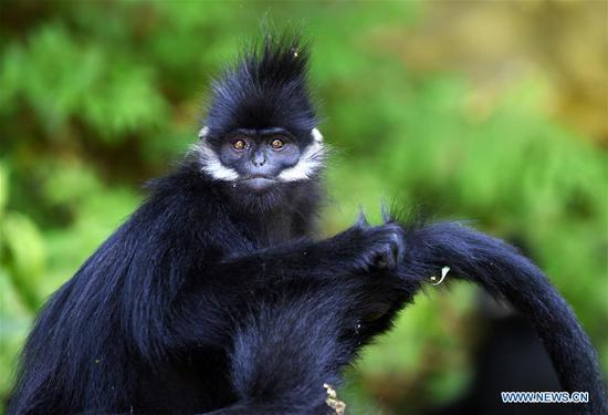 A Francois' langur is seen in the Mayanghe National Nature Reserve in Guizhou Province, southwest China, June 4, 2019. Thanks to a series of protective measures, the number of Francois' langurs in the Mayanghe National Nature Reserve has been increasing in recent years. According to latest official statistics, there are currently more than 550 Francois' langurs in the nature reserve. Also known as Francois' leaf monkeys, the species is one of China's most endangered wild animals and is under top national-level protection. It is also one of the endangered species on the International Union for Conservation of Nature red list. The species are found in China's Guangxi, Guizhou and Chongqing. (Xinhua/Yang Wenbin)