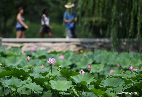 Photo taken on July 2, 2019 shows lotus flowers at Mati Lake at Nankai University in north China's Tianjin. (Xinhua/Yue Yuewei)