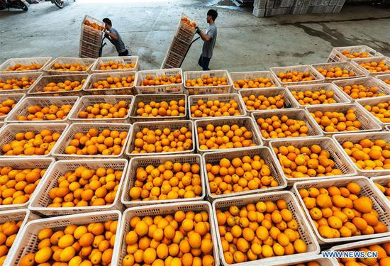 Workers carry fresh navel oranges at Wangjialing Village of Guojiaba Township in Zigui County of Yichang, central China's Hubei Province, April 6, 2019. China's agriculture sector has seen rapid growth over the past 70 years, with grain output expanding 4.8 times, according to a report from the National Bureau of Statistics (NBS). China's grain output grew at an average annual rate of 2.6 percent from 1949 to reach 658 billion kg in 2018, managing to feed around 20 percent of the world's population with only less than 9 percent of the world's arable land, according to the report. The country increased the diversity of food supply by developing the breeding industry, with the output of aquatic products ranking first in the world since 1989, which stood at 64.6 million tonnes in 2018, 143 times higher than 1949. The structure of the agriculture industry was continuously optimized, with a modern pattern promoting all-round development of farming, forestry, animal husbandry and fishery replacing the traditional farming pattern, the NBS said. Scale operation of agriculture was enhanced by the progress of rural land circulation. Over 35 million hectares of family contracted farmland was circulated in 2018, posing a sharp contrast to the 58 million mu in 2004. The country also fostered new types of entities of agricultural production and service. By the end of 2018, 600, 000 family farms and 2.17 million farmer cooperatives had been registered. (Xinhua/Zheng Jiayu)