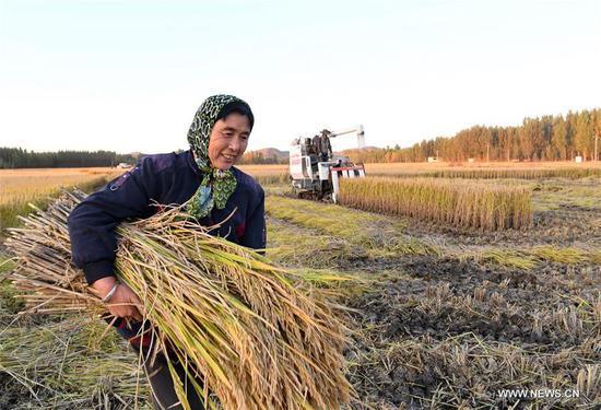 A farmer harvests rice in Jiangzhuang Village in Luanzhou, north China's Hebei Province, Oct. 18, 2020. (Xinhua/Mu Yu)